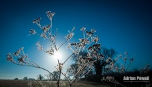 Silhouetted Frosted Cow Parsley