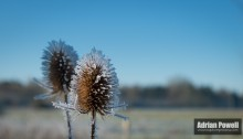 Frosted Teasles